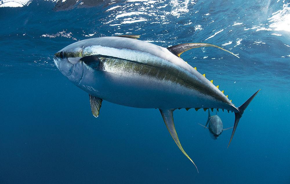 Tuna fishing in the gulf louisiana fishing out of venice la for Tuna fishing louisiana
